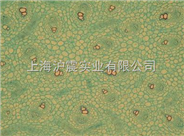 SV40 MES 13细胞