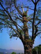 河南揚博定制古樹專用避雷針防雷避雷產品